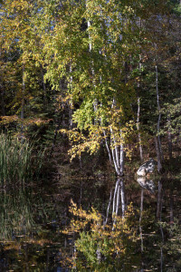 birch-on-pond_MG_2324